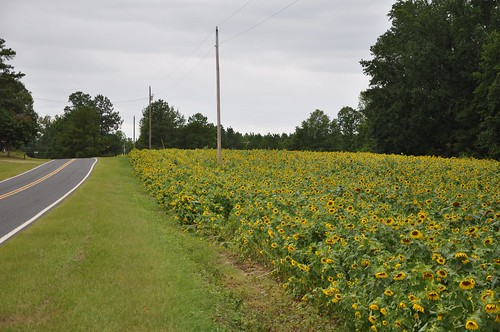 Sunflowers in Carthage NC