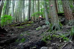 bcmc trail to grouse mountain (aloalo*) Tags: trees canada nature vancouver forest bc hiking roots climbing trail northvancouver grousemountain bcmctrail