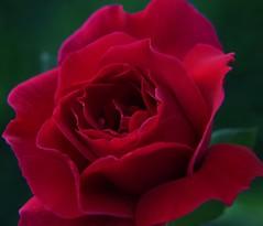 inspire (ranchodon) Tags: mixedflowers flowersarebeautiful macroelsalvador excellentsflowers exquisiteflowers mimamorflowers faunaandfloraoftheworld flickrflorescloseupmacros esenciadelanaturaleza rosesforeveryone