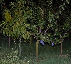 Réalisateur (duthion) Tags: tree art weird experiment arbre laurent grafting graft expérience greffe duthion laurentduthion