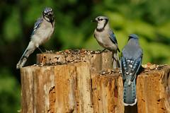 DSC06355 (dmarie13) Tags: haven birds backyard minolta sony north july ct teleconverter 2011 14x 600mm a900