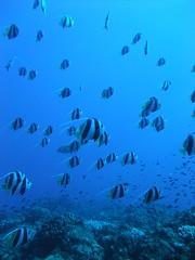 (Froschmann : ) Tags: blue fish japan tokyo underwater diving scubadiving      ogasawara boninislands    schoolingbutterflyfish fujifilmf200exr  nishijimaisland nishijimasw sw