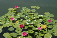 Lotus Flower (Anna Sunny Day) Tags: lotusflower balboaparksandiego