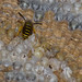 Yellow jacket on nest comb 2