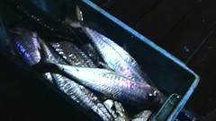 20100524 (fymac@live.com) Tags: mackerel fishing redsnapper shimano pancing angling daiwa tenggiri sarawaktourism sarawakfishing malaysiafishing borneotour malaysiaangling jiggingmaster