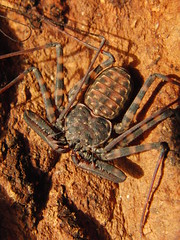 CIMG8544 (mantidboy) Tags: pet forest spider rainforest arachnid tail scorpion exotic bark scorpions whip cave charon hiding predator cf invertebrate dwelling insectivore tailless amblypygid tailess amblypygi grayii phillipenes grayi