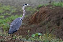Airone cenerino (fausto.deseri) Tags: natura uccelli aironecenerino pentaxk20d pentaxfa30045 oasiditivolimanzolino