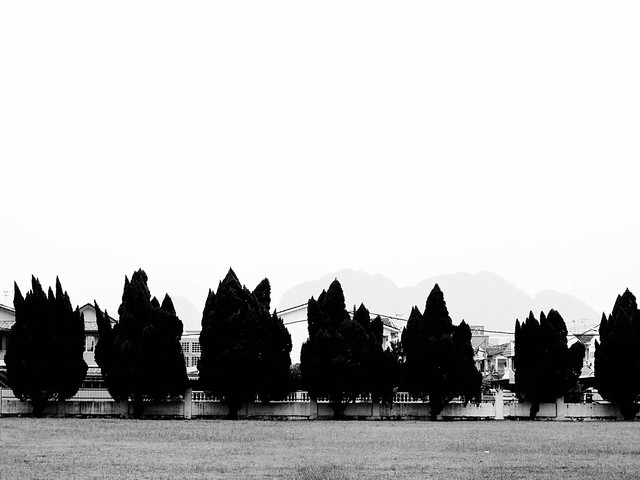 IMG_0182 Pine trees - school compound , Ipoh . 松树 ,校园,怡保