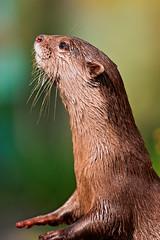 [フリー画像] 動物, 哺乳類, カワウソ, 201109211100