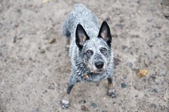 Throw the ball. Now. (gustavosal) Tags: suki acd blueheeler soldandogpark highqualitydogs