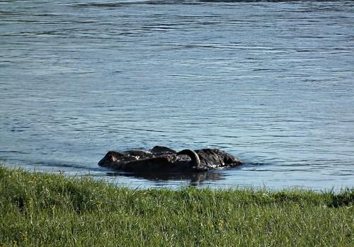karkas in Yellowstone River