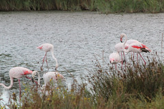 Camargue 1 09.11 151 (MUMU.09) Tags: bird rose photo foto flamingo aves ave bild fugl oiseau flaming flamenco  vogel imagem  uccello  ku chim ptak fgel   flamant     fenicottero  madr    an      plamek  hng      tkklistar  hac