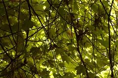 IMGP3335rd (STC4blues) Tags: tree green vines jerseycity foliage libertystatepark totorocave