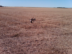 This is Jill in Saskatchewan retrieving geese.