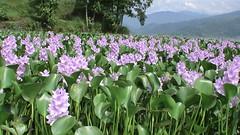 DSC00141 (clickforsmile) Tags: flowers nepal lake pokhara fewataal