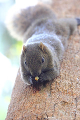... Squirrel, Taipei (yameme) Tags: nature animal canon squirrel taiwan taipei        60d  callosciuruserythraeus  70300mmlis