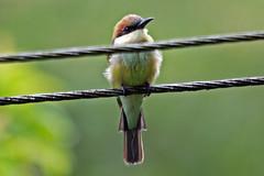 Makunda Birds-669 - Merops leschenaulti (Vijay Anand Ismavel) Tags: chestnutheadedbeeeater meropsleschenaulti nikond300s makundabirds