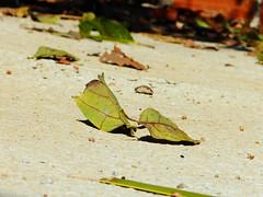Folhas (Salatiel Lopes) Tags: folhas e pedras coqueiro pregos tijolos folhassecas