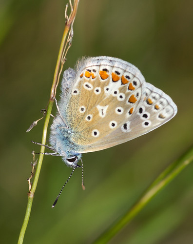 common blue butterfly_