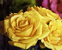 Yellow (PAL1970) Tags: rose yellow canon rosa amarillo eos50d pal1970