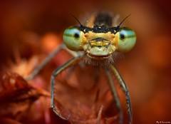 ~Stranger In A Strange Land~ (Eddie The Bugman) Tags: macro damselfly odonata zygoptera commonbluedamselfly extensiontubes holmepierrepont nikkor60mmmicro sb900 nikond7000 edwardnurcombe wildlifeonthegothebugman