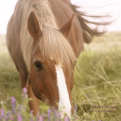 The Quiet Horse (marie b&b | photographie) Tags: flowers summer portrait horses horse france nature beautiful field animal canon cheval freedom countryside natural sweet country free naturallight libert campagne equine chevaux loh jument softcolours equin alezan 2470mmlusm canon5dmarkii