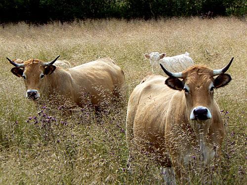 des vaches dans les herbes.jpg