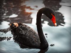 Black Swan (AndreiRosca) Tags: sun lake black reflection bird nature water animal swan pond hd hq blackswan cygnusatratus cygnus anatidae anasatrata chenopsisatratus