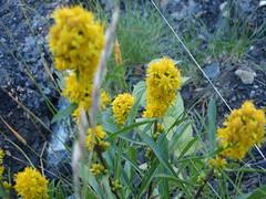 Wild Flowers (Mr. Happy Face - Peace :)) Tags: flowers canada colorful alberta wildflowers braggcreek provincialparks