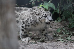 Young Snow Leopard Walking / 子供ユキヒョウ