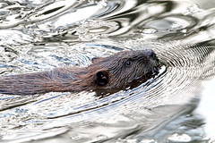 Busy Beaver (Peggy Collins) Tags: silver britishcolumbia beaver pacificnorthwest penderharbour sunshinecoast waterripples babybeaver peggycollins beaverswimming