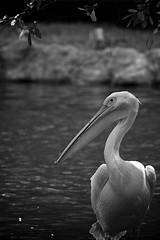 Pelican Under a Tree (morribrad) Tags: vacation blackandwhite bw holiday bird nature fauna canon eos blackwhite aperture singapore outdoor wildlife pelican dslr amateur avian beginner birdpark wildlifepark 500d