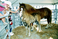 Postier Breton (pontfire) Tags: horse animal animals cheval pig cow bretagne 29 animaux cochon ferme vache morlaix bzh finistère poulain paysan nikond200 pontfire