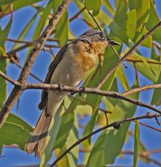 AU11_60d_03786a (jerryoldenettel) Tags: bird au australia flycatcher passeriformes 2011 passerine myiagra monarchidae myiagrarubecula leadenflycatcher