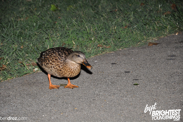 Duck eating Hempseeds