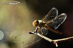 Evinrude the Dragonfly (Nik 5) Tags: light macro insect wings dragonfly rescuers