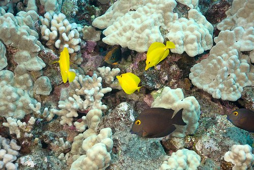 Yellow Tang in Maui