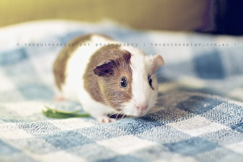 Typical cavy pose, guinea pig Gertrude's portrait by twoguineapigs pet photography