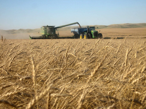 Cutting seed wheat in Regent.