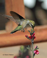 Ruby-throated Hummingbird (Archilochus colubris) (Sharon's Bird Photos) Tags: flowers red summer bird feet nature canon flickr hummingbird ngc birding npc northdakota ruby migration ~ sb hg bif throated supershot specanimal traillcounty avianexcellence natureselegantshots flickraward hg~sb