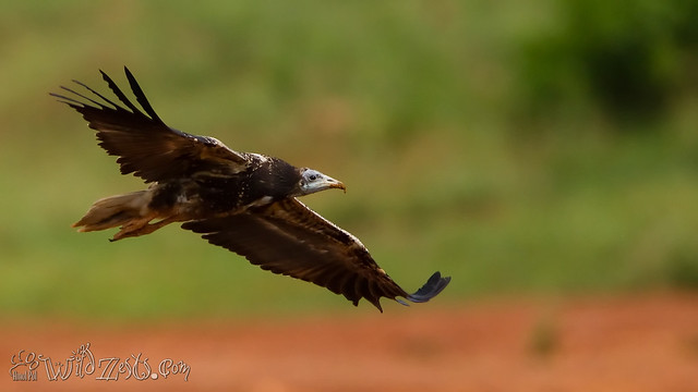 Juvenile Egyptian Vulture