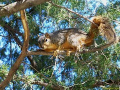 Hello Fox Squirrel