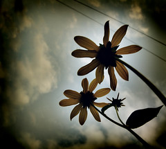 Taking this one to the grave. (sleepless-selfdestruction) Tags: old sky plant flower nature landscape photography pretty antique burnt poop daisy