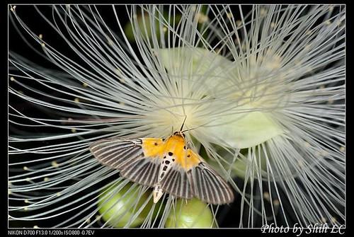 脈紋野螟蛾。(攝影:施禮正)