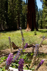 Redwoods and Flowers