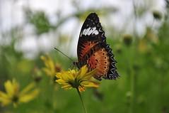 Butterfly on cosmos flower (e.nhan) Tags: light flower art nature yellow closeup butterfly dof bokeh butterflies cosmos backlighting enhan