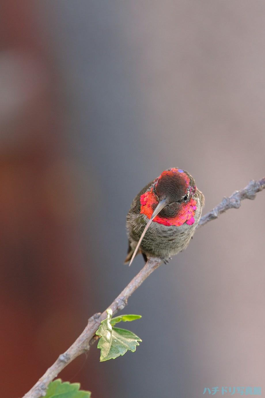 Anna's Hummingbird 090111