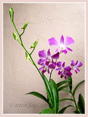 Our Dendrobium phalaenopsis 'Sonia' is so reliable! Shot August 25 2011