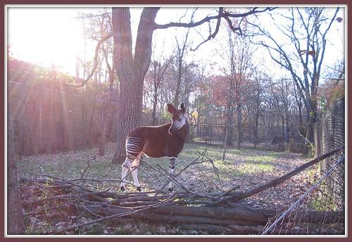 Okapi Sunshine