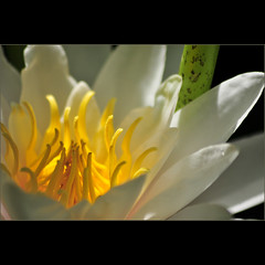 water lily . . . (dragonflydreams88) Tags: excellence sbfmasterpiece daarkstribute dragonflydreams88